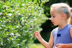 Gather blueberries Stock Photo