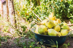 Gather the harvest of pears in the garden in the old bowl.  royalty free stock photography