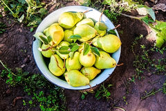 Gather the harvest of pears in the garden in the old bowl.  stock photo