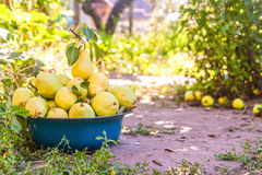 Gather the harvest of pears in the garden in the old bowl.  royalty free stock photo