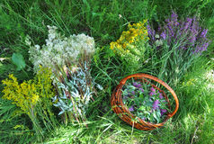 Gather Herbs. Herbal Plants. Hypericum perforatum, yellow bedstraw, St John`s wort, Galium verum, Red Clowers ,  Filipendula ulmar Stock Images