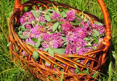 Gather Herbs for Herbal Tea. Trifolium pratense. Red clover is commonly used to make a sweet-tasting herbal tea. It is an ingredient in some recipes for essiac royalty free stock photo