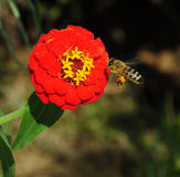 Gather honey. A bee is gathering honey,it put honey on his leg royalty free stock images
