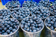 Gathered blueberries. Closeup of freshly picked blueberries piled in plastic buckets Royalty Free Stock Photography