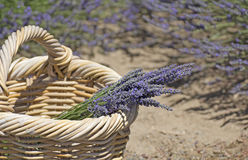 Gathered Lavender Bunch In Basket Royalty Free Stock Image
