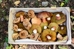 Gathered mushrooms in a box Royalty Free Stock Image