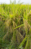 Gathered Rice before Harvest Stock Images