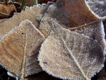 Gathered Together. Frosted leaves huddled together against the cold Stock Photos