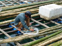 Gatherer oyster Vietnam. Vietnamese man collecting  oyster Stock Image