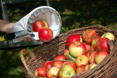 Gathering apples. A gathering tool and a wicker basket of apples Royalty Free Stock Image