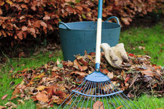 Gathering Autumn leaves. With a grass rake gloves and a trug - landscape Royalty Free Stock Image