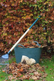 Gathering Autumn leaves from Beech hedge. Gathering Autumn leaves with full trug and gloves Stock Image