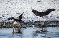 Gathering of Bald Eagles Royalty Free Stock Images