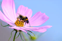Gathering bee. Bee gathering a beautiful purple flower Royalty Free Stock Photo