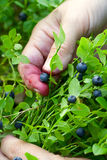 Gathering berries of bilberry. closeup. Stock Images
