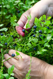 Gathering berries of bilberry. hands. Royalty Free Stock Photo
