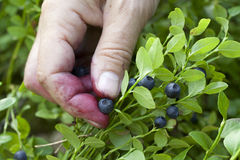 Gathering berries of bilberry. horizontal. Stock Photo