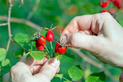 Gathering berries of wild rose Stock Image