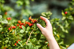Gathering berries of wild rose Stock Photos