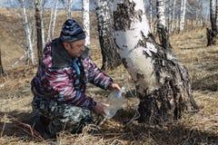 Gathering birch sap Stock Image