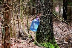 Gathering birch sap Royalty Free Stock Photography