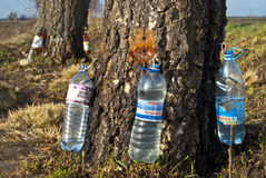 Gathering of birch sap. Stock Images