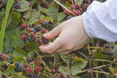 Gathering Blackberries Stock Photography
