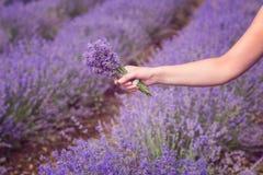 Gathering a bouquet of lavender. Beautiful girl holding a bouquet of fresh lavender in lavender field. Sun, sun haze, glare. Purpl Royalty Free Stock Photography