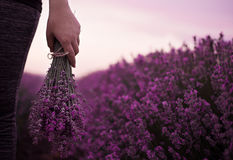Gathering a bouquet of lavender. Girl hand holding a bouquet of fresh lavender in lavender field. Sun, sun haze, glare. Purple tinting Stock Photos