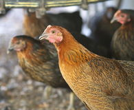 A Gathering Of Chickens. A gathering of Rhode Island red chickens in summer stock images