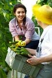 Gathering cucumbers Royalty Free Stock Image