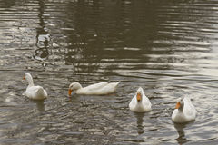 A Gathering of Ducks Royalty Free Stock Photos