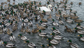Gathering. Ducks gathered and leaning to a leader Royalty Free Stock Photo