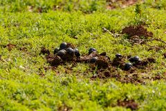 Gathering of dung beetles on dung. In the field royalty free stock photo