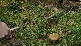 Gathering edible mushrooms in the forest in autumn.  stock video