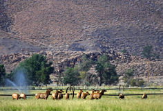 Gathering Elk. Elk gather before the Sierra Nevada Mountains, California Stock Photos