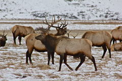 Gathering elk Stock Images