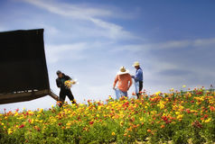 Gathering Flowers in the Field, California royalty free stock photo