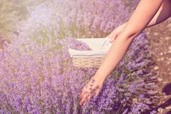 Gathering fresh lavender in a wicker basket. Beautiful girl gather fresh lavender in lavender field. Sun, sun haze, glare. Purple. Tinting royalty free stock images
