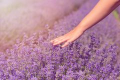 Gathering fresh lavender in a wicker basket. Beautiful girl gather fresh lavender in lavender field. Sun, sun haze, glare. Purple. Tinting royalty free stock image