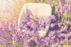 Gathering fresh lavender in a wicker basket. Beautiful girl gather fresh lavender in lavender field. Sun, sun haze, glare. Purple. Tinting stock photography