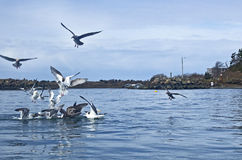 Gathering of Gulls In Blue Bay Water Royalty Free Stock Photography