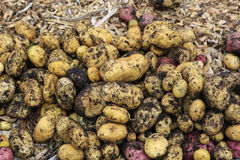 Gathering harvest. Fresh young potatoes Royalty Free Stock Images