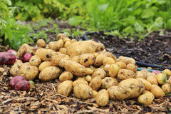 Gathering harvest. Fresh young potatoes Stock Images