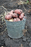 Gathering harvest of potatoes Stock Images