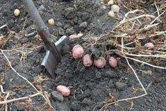 Gathering harvest of potatoes Stock Photography