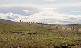 Gathering of icelandic horses Stock Photography
