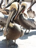 Gathering for Lunch. Brown pelicans Stock Photography