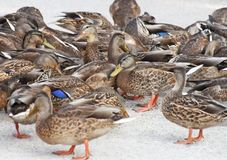 Gathering of Mallard ducks feeding on land Stock Images