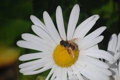 Gathering Nectar. Bee on daisy flower gathering nectar stock photo